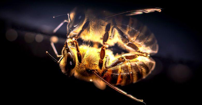 Hausmittel gegen Bienenstiche - Bienenstich Insekt